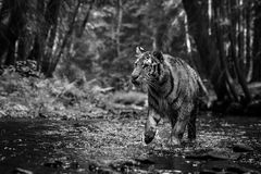 Siberian Tiger. Tracing in the forest Royalty Free Stock Photography