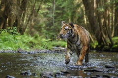 Siberian Tiger. Tracing in the forest Royalty Free Stock Photos