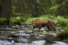 Siberian Tiger. Tracing in the river Royalty Free Stock Image
