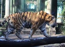 Siberian tiger on tree Royalty Free Stock Photos