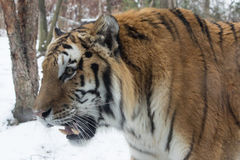 Siberian tiger- Up Close in the snow Stock Image