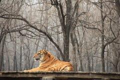 Siberian tiger (vetenskapligt namn: Pantheratigris altaica) Arkivfoton