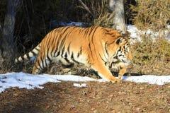 Siberian tiger walking along tree edge Royalty Free Stock Photo
