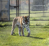 Siberian Tiger walking in Canadian Zoo Royalty Free Stock Photography