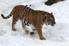 Siberian tiger walking on cloudy winter Stock Image
