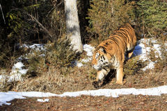 Siberian tiger walking out of the forest trees. At sunset Stock Photo