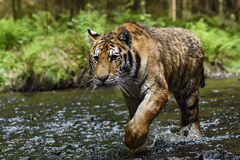 Siberian Tiger. Walking in the river Royalty Free Stock Image