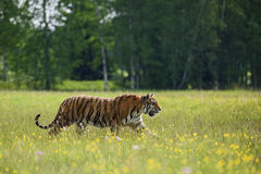 Siberian Tiger. Walking in the spring yellow meadow Stock Photos