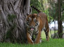 Siberian Tiger. Siberian walking in a zoo on a hot summer day royalty free stock photo