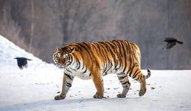 Siberian tiger walks in a snowy frost. Very unusual image. China Harbin. Mudanjiang province. Hengdaohezi park. stock photos