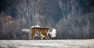 Siberian tiger walks in a snowy glade in a cloud of steam in a hard frost. Very unusual image. China. Harbin. Mudanjiang province. royalty free stock photo