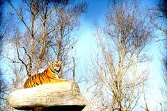 Siberian tiger Stock Image