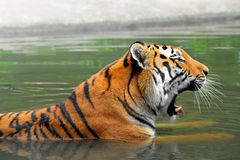 Siberian Tiger. In water Stock Images