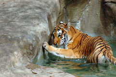Siberian tiger in water pool at zoo Stock Images