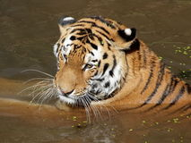 Siberian tiger in water portrait Stock Photo
