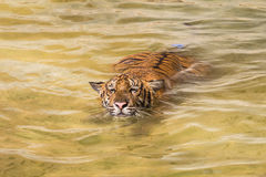 Siberian Tiger in water Stock Photography