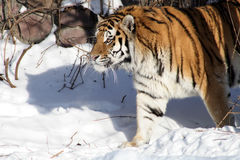 Siberian Tiger In Winter Royalty Free Stock Image