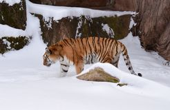 Siberian Tiger. This is a winter picture of a Siberian Tiger in its habitat at the Lincoln Park Zoo in Chicago, Illinois.  This picture was taken on January 13 Royalty Free Stock Photography