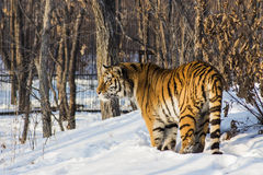 Siberian tiger. Tiger winter. Red tiger. Bright red tiger. Very beautiful tiger. Wonderful tiger. Tigress standing on the ground. Wonderful wild cat. Winter royalty free stock photos