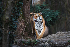 The siberian tiger Royalty Free Stock Photos