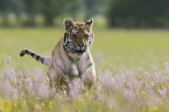 Siberian Tiger. Young male of Siberian Tiger running in the meadow Stock Photography