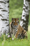 Siberian Tiger. Young male of Siberian Tiger watching Royalty Free Stock Photos