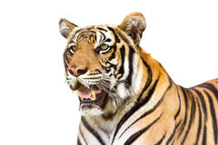 Siberian tiger. Young siberian tiger on white background royalty free stock photography