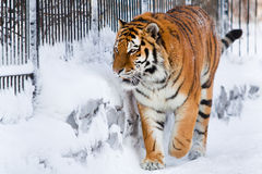 Siberian tiger in zoo Royalty Free Stock Photos