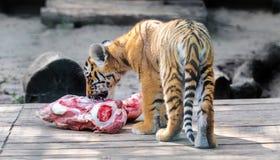 siberian tigerbarn Arkivbild