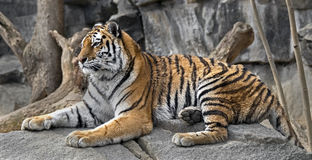 siberian tigerbarn Royaltyfri Foto