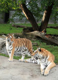 Siberian tigers. Closeup of male and female adult Siberian tigers Royalty Free Stock Photo