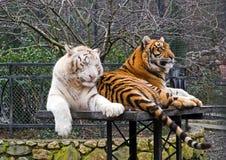 Free Siberian Tigers Stock Photography - 17715712