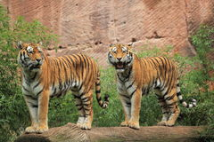 Siberian tigers Royalty Free Stock Photos