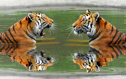 Siberian Tigers Royalty Free Stock Photography