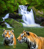 Siberian Tigers Stock Images