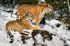 Two siberian tiger, Panthera tigris altaica, male and female resting in the snow in the forest. Zoo. Siberian tigers, Panthera tigris altaica, resting in the Royalty Free Stock Photo
