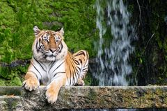 Siberian tigers are resting on the stone. Portrait of Siberian tigers are resting on the stone and have a backdrop of waterfalls in open zoo of Thailand stock image