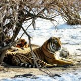 Siberian Tiger resting Stock Images
