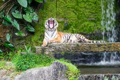 Siberian tigers are roaring. stock photos
