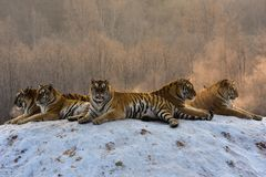 Siberian Tigers in snowy winter stock image