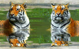 Siberian Tigers Royalty Free Stock Images