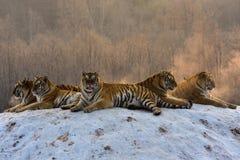 Siberian tigrar i snöig vinter fotografering för bildbyråer