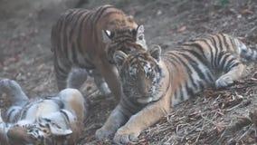 Siberian tigrar som spelar med de på gräs- jordning arkivfilmer
