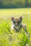 Siberian Tiiger puppy Stock Photography