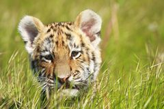 Siberian Tiiger puppy Stock Images