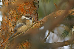 Siberian tit in a finnish wood Stock Photography