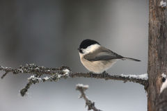Siberian tit, Parus cinctus Stock Photo