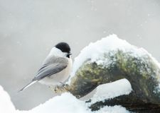 Siberian tit perching on branch in winter. Siberian tit Parus cinctus perching on branch in winter stock images