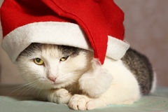 Siberian tom cat in santa hat close up portrait Royalty Free Stock Photos
