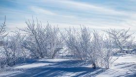 Siberian träd som täckas med frost mot den blåa himlen på en frostig vinterdag arkivbild